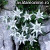 Flori Flori de colt Flori de colt 10469