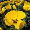 Flori Lalele  4154