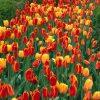 Flori Lalele  4156