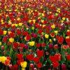 Flori Lalele  4168