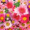 Flori Gerbera  4141