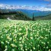 Flori De camp  4029