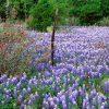 Flori De camp  4119