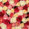Flori Trandafiri  4356