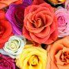 Flori Trandafiri  4359