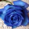 Flori Trandafiri  784