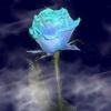 Flori Trandafiri  804