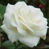 Flori Trandafiri  807