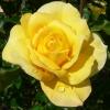 Flori Trandafiri  808
