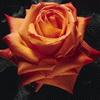 Flori Trandafiri  810