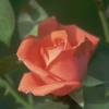 Flori Trandafiri  846