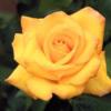 Flori Trandafiri  858