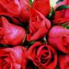 Flori Trandafiri  867