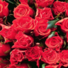 Flori Trandafiri  868
