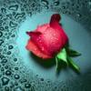 Flori Trandafiri  896