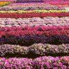 Flori Mix de flori  4205