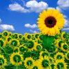 Flori Mix de flori Floarea soarelui 4341