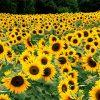 Flori Mix de flori Floarea soarelui 4343