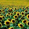 Flori Mix de flori Floarea soarelui 4345