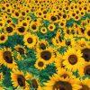 Flori Mix de flori Floarea soarelui 4348