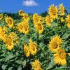 Flori Mix de flori Floarea soarelui 4350