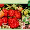 Fructe Diverse Capsuni 6363