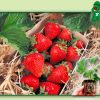 Fructe Diverse Capsuni 6366