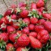 Fructe Diverse Capsuni 6368