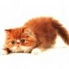 Animale Pisici  136