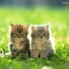 Animale Pisici 146