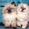 Animale Pisici  172