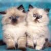 Animale Pisici  226