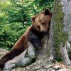 Animale Ursi  2066