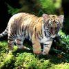 Animale Tigri 1216