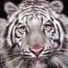 Animale Tigri 1760