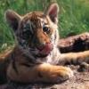 Animale Tigri  120