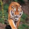 Animale Tigri  121