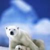 Animale Ursi  126