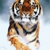 Animale Tigri 128