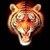 Animale Tigri  145