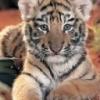 Animale Tigri 148