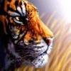 Animale Tigri  149