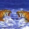 Animale Tigri  157