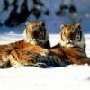 Animale Tigri  198