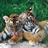 Animale Tigri  205