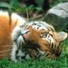 Animale Tigri  224
