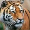 Animale Tigri  239