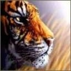 Animale Tigri  241