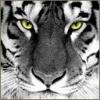 Animale Tigri  242