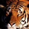 Animale Tigri  270